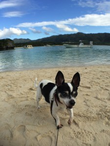 川平湾でテンションが上がる犬