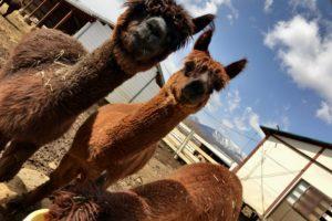 【オススメ】那須高原の観光でアルパカ牧場を外してはいけない3つの理由