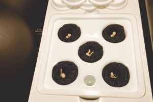 灯菜(AKARINA/アカリーナ)でサラダ菜の水耕栽培(day3)