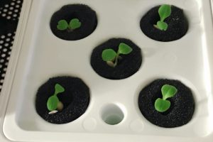 灯菜(AKARINA/アカリーナ)でサラダ菜の水耕栽培(day5)