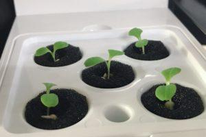 灯菜(AKARINA/アカリーナ)でサラダ菜の水耕栽培(day6)