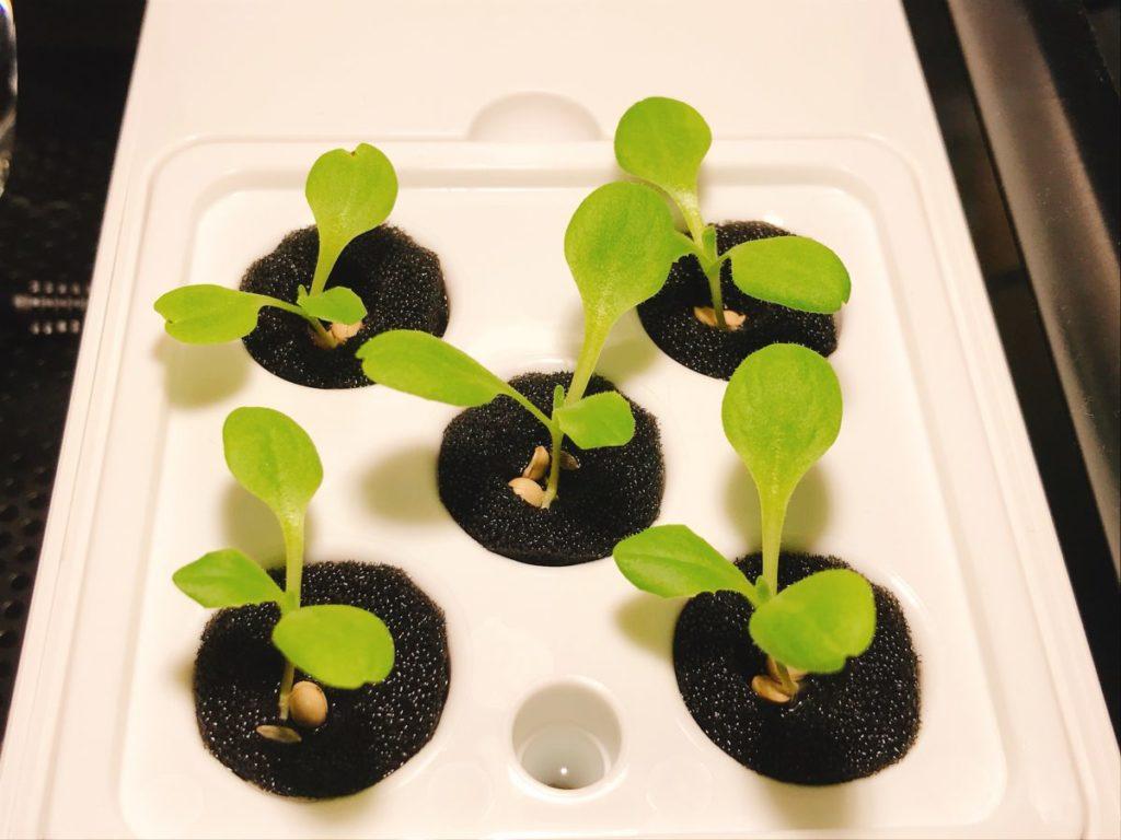 灯菜(AKARINA/アカリーナ)でサラダ菜の水耕栽培(day9)