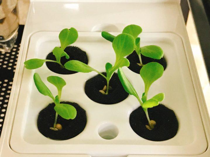 灯菜(AKARINA/アカリーナ)でサラダ菜の水耕栽培(day10)