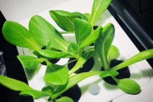 灯菜(AKARINA/アカリーナ)でサラダ菜の水耕栽培(day16)
