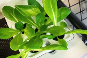 灯菜(AKARINA/アカリーナ)でサラダ菜の水耕栽培(day18)