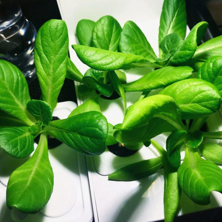 灯菜(AKARINA/アカリーナ)でサラダ菜の水耕栽培(day22)