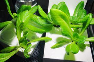 灯菜(AKARINA/アカリーナ)でサラダ菜の水耕栽培(day24)