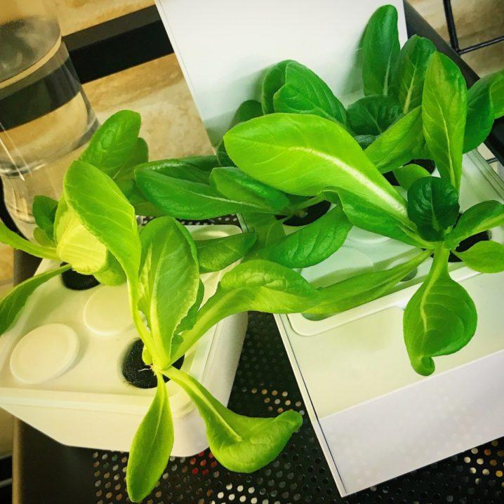 灯菜(AKARINA/アカリーナ)でサラダ菜の水耕栽培(day25)