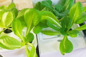 灯菜(AKARINA/アカリーナ)でサラダ菜の水耕栽培(day27)