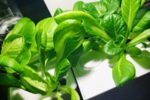 灯菜(AKARINA/アカリーナ)でサラダ菜の水耕栽培(day28)