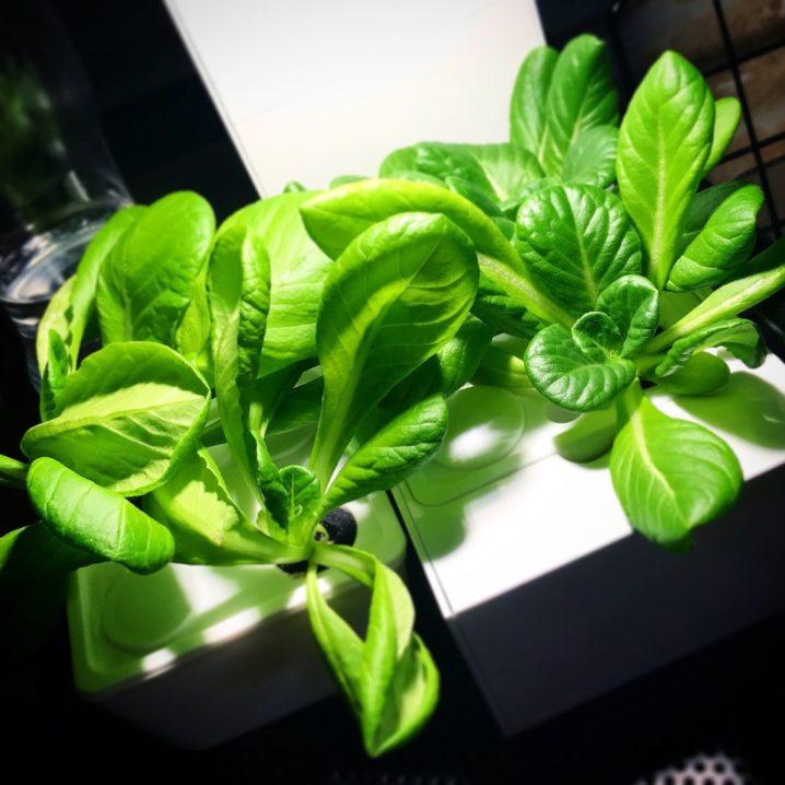 灯菜(AKARINA/アカリーナ)でサラダ菜の水耕栽培(day29)