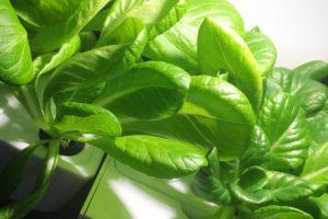 灯菜(AKARINA/アカリーナ)でサラダ菜の水耕栽培(day34)