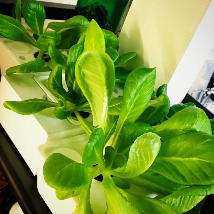 灯菜(AKARINA/アカリーナ)でサラダ菜の水耕栽培(day40)