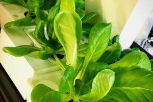 灯菜(AKARINA/アカリーナ)でサラダ菜の水耕栽培(day35)