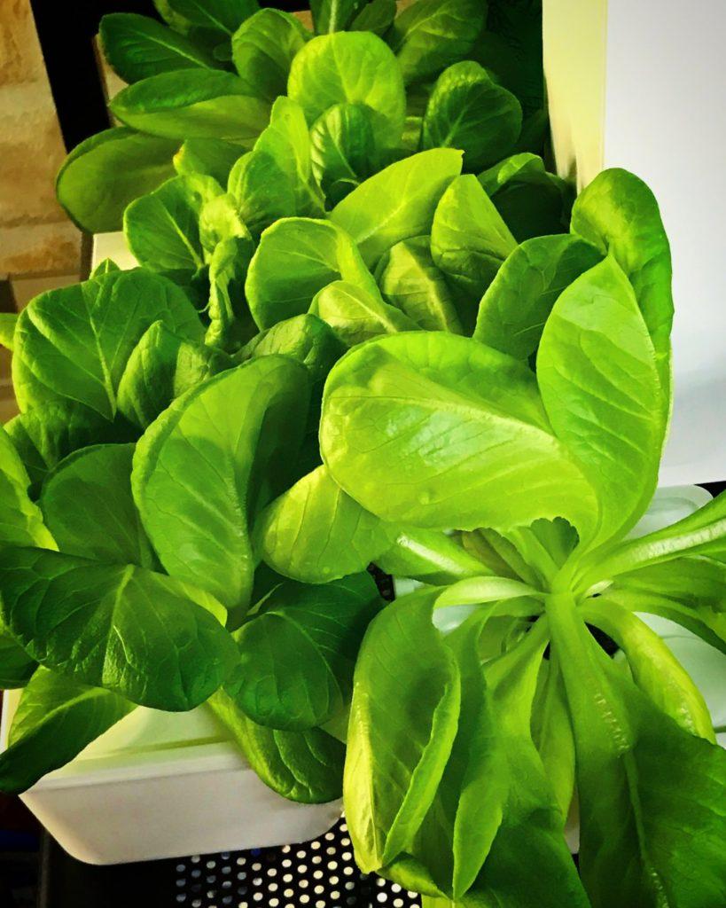灯菜(AKARINA/アカリーナ)でサラダ菜の水耕栽培(day44)