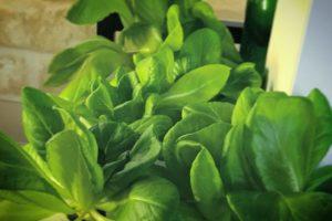灯菜(AKARINA/アカリーナ)でサラダ菜の水耕栽培(day46)