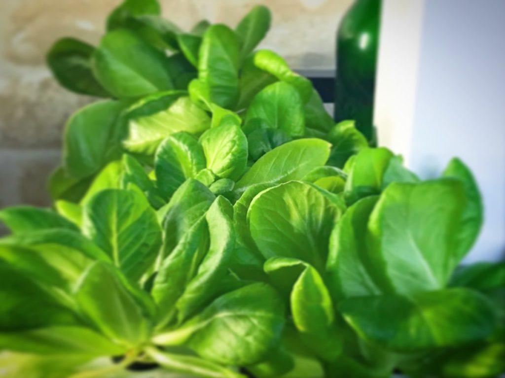 灯菜(AKARINA/アカリーナ)でサラダ菜の水耕栽培(day48)