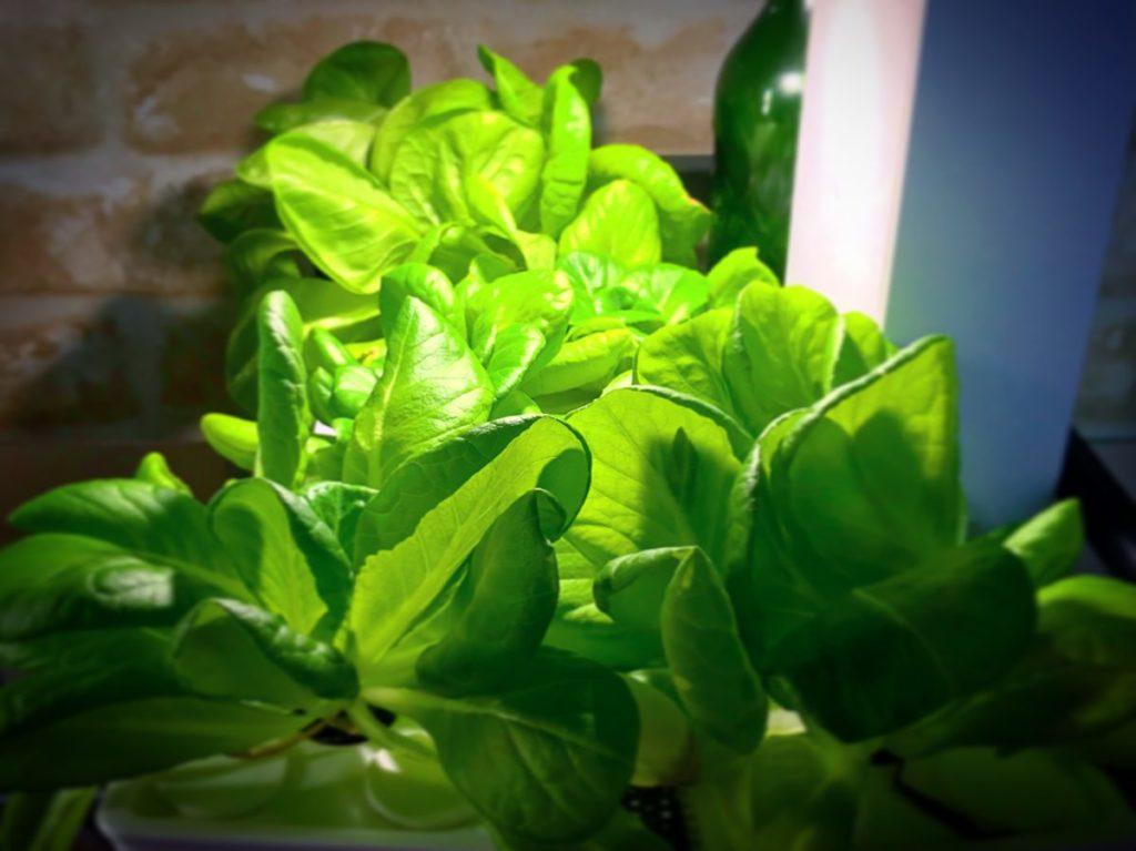 灯菜(AKARINA/アカリーナ)でサラダ菜の水耕栽培(day51)
