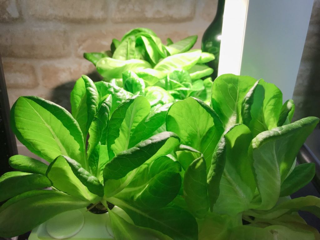 灯菜(AKARINA/アカリーナ)でサラダ菜の水耕栽培(day55)