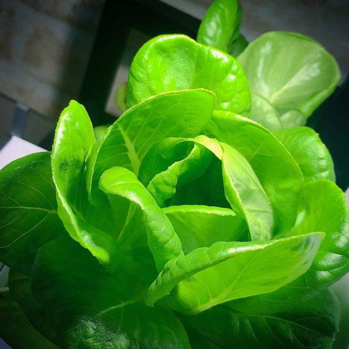 灯菜(AKARINA/アカリーナ)でサラダ菜の水耕栽培(day75)