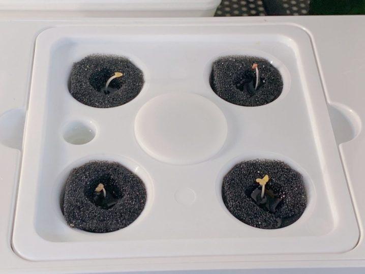 水耕栽培キット灯菜でルッコラを育ててみた(day2)