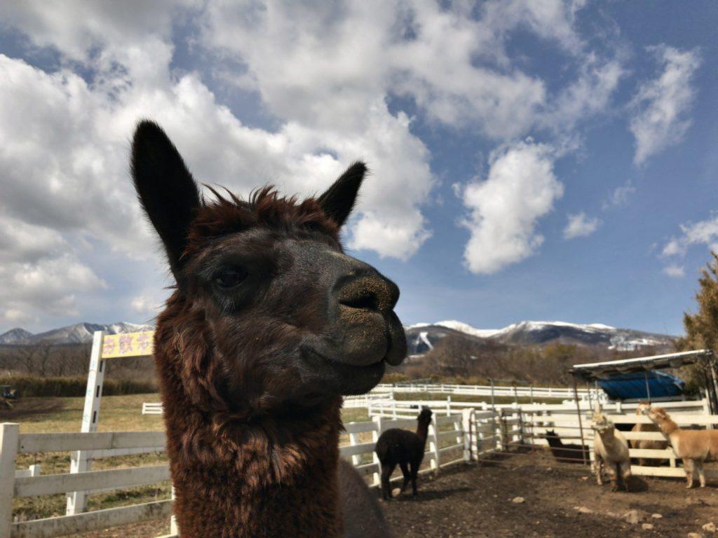 【理由①】雪山と約400頭のアルパカが目の前に!