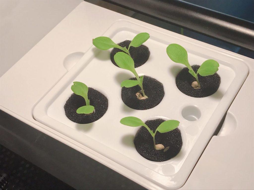 灯菜(AKARINA/アカリーナ)でサラダ菜の水耕栽培(day8)