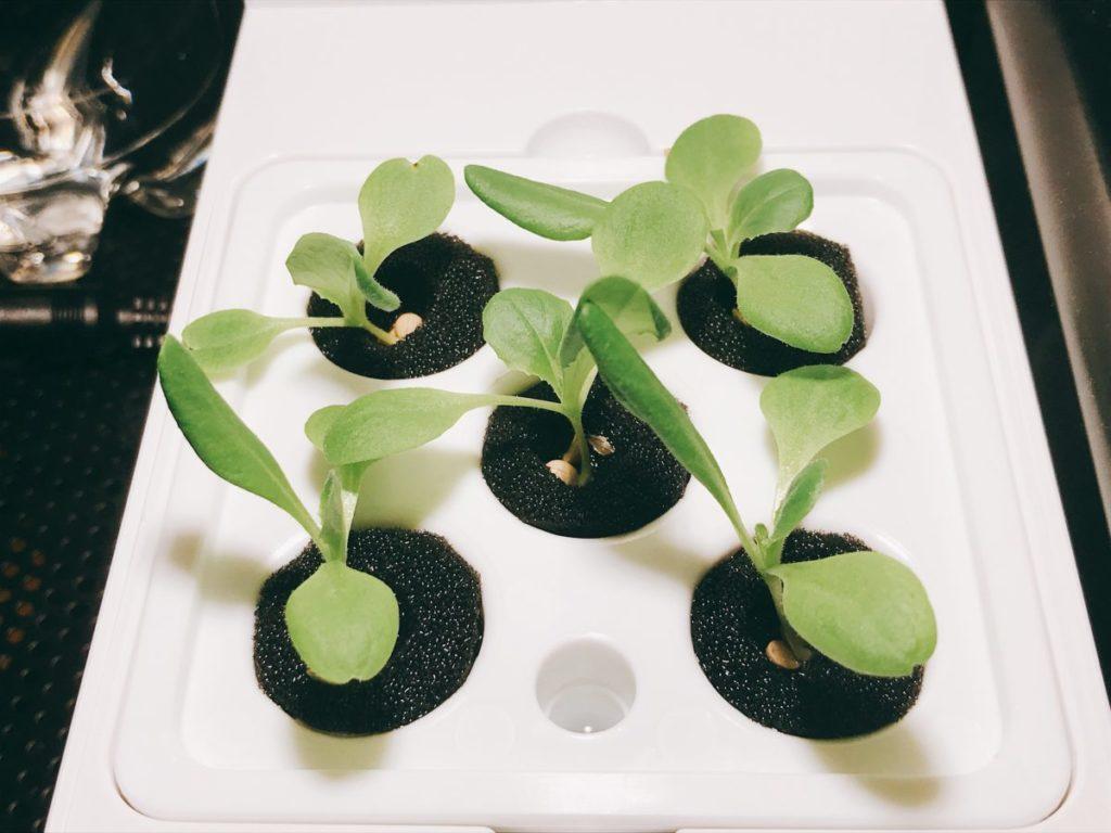 灯菜(AKARINA/アカリーナ)でサラダ菜の水耕栽培(day11)