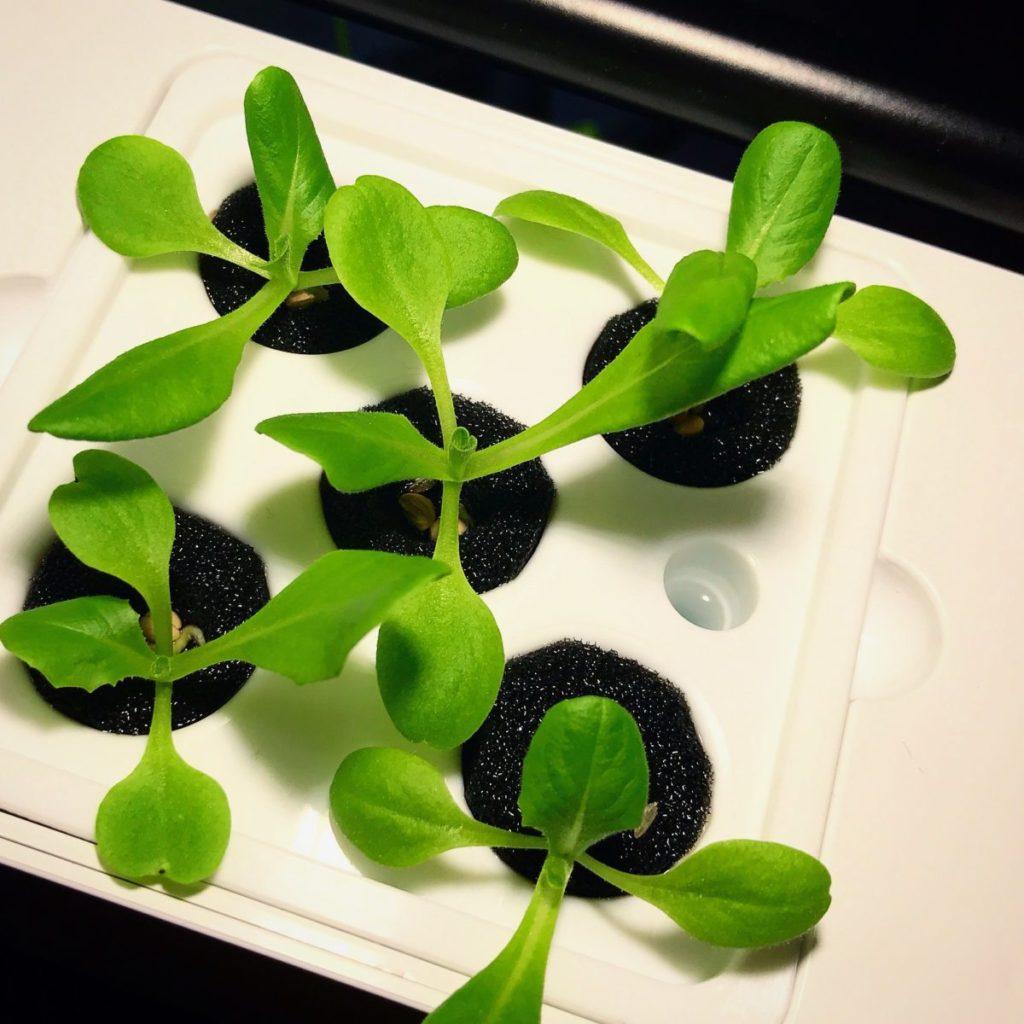 灯菜(AKARINA/アカリーナ)でサラダ菜の水耕栽培(day12)