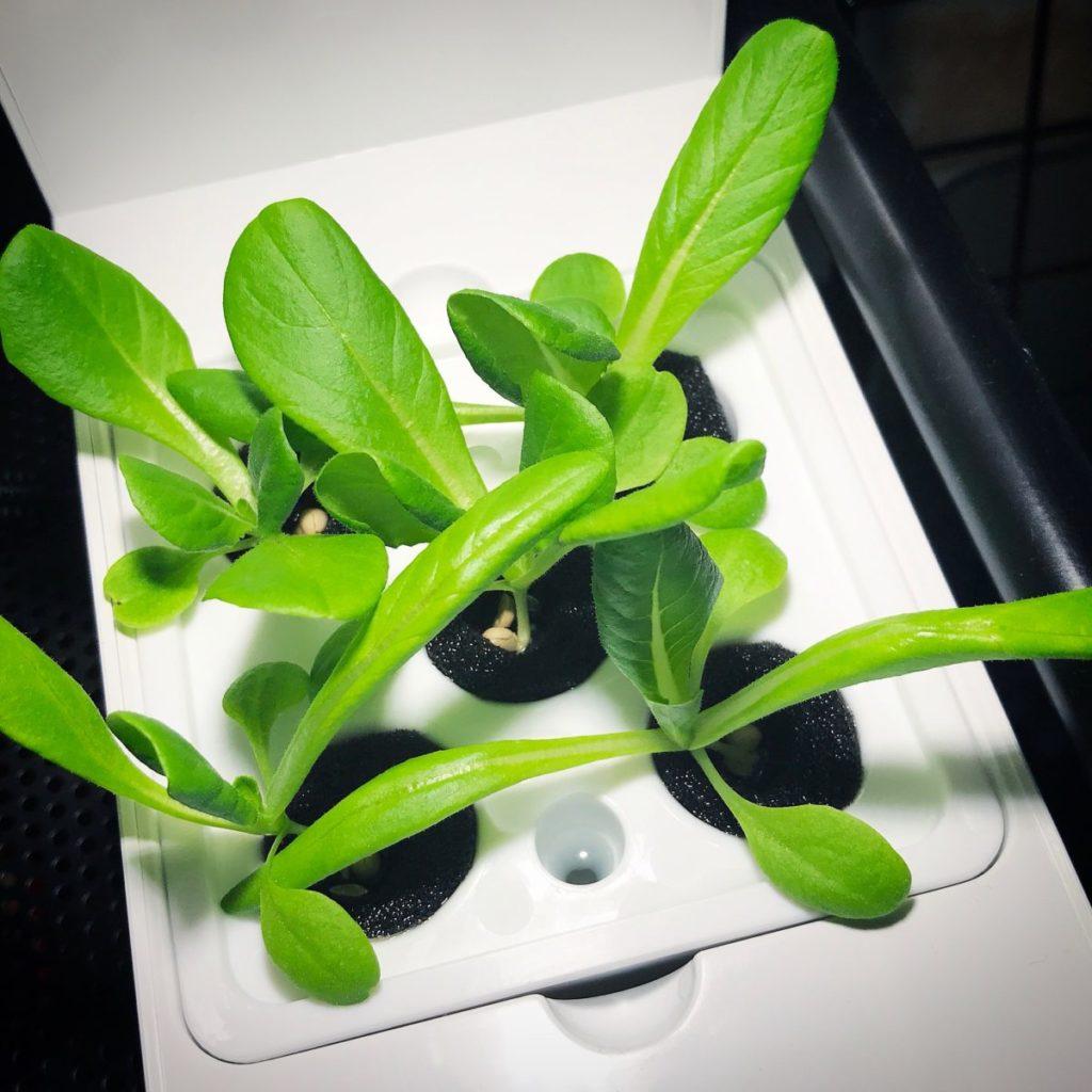 灯菜(AKARINA/アカリーナ)でサラダ菜の水耕栽培(day15)
