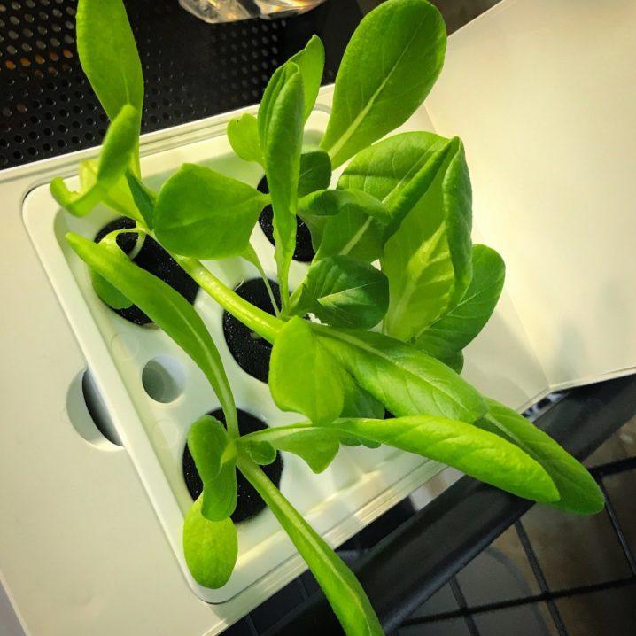 灯菜(AKARINA/アカリーナ)でサラダ菜の水耕栽培(day17)