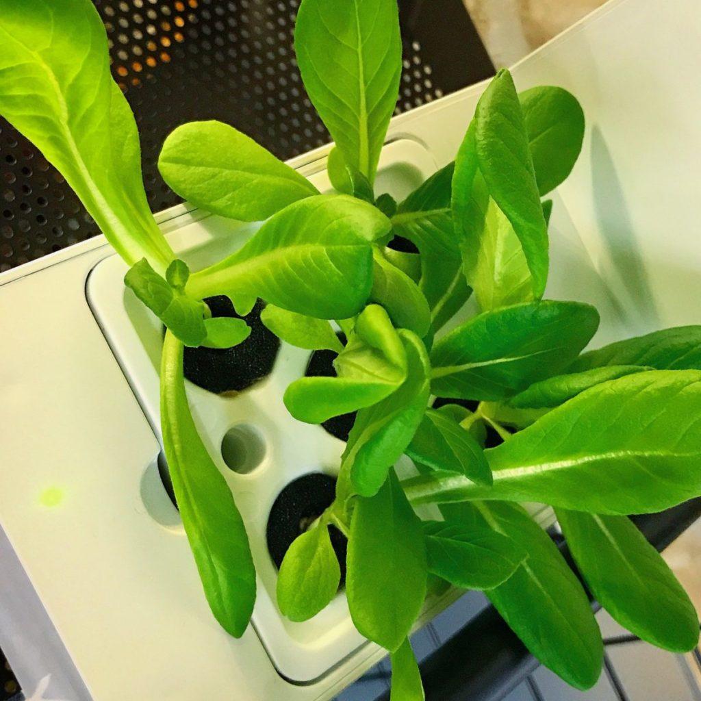灯菜(AKARINA/アカリーナ)でサラダ菜の水耕栽培(day20)