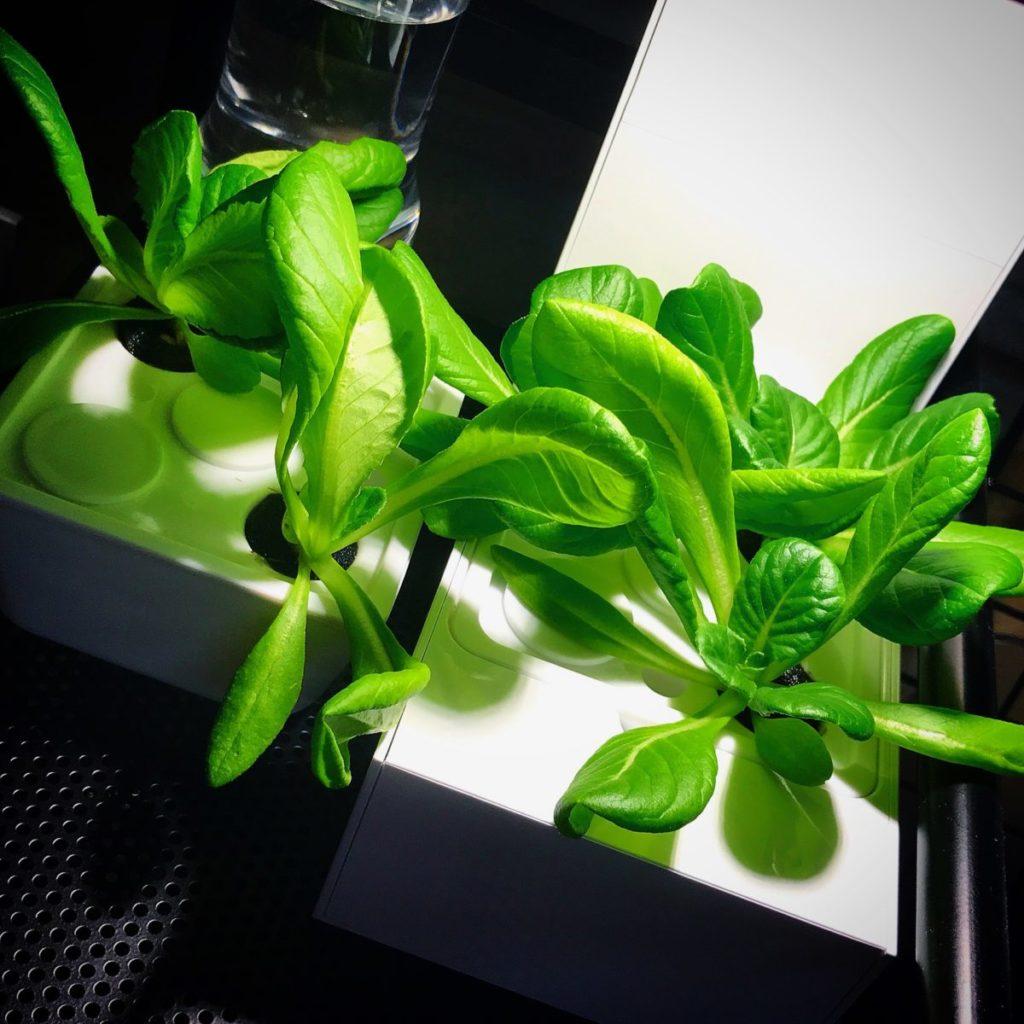 灯菜(AKARINA/アカリーナ)でサラダ菜の水耕栽培(day26)