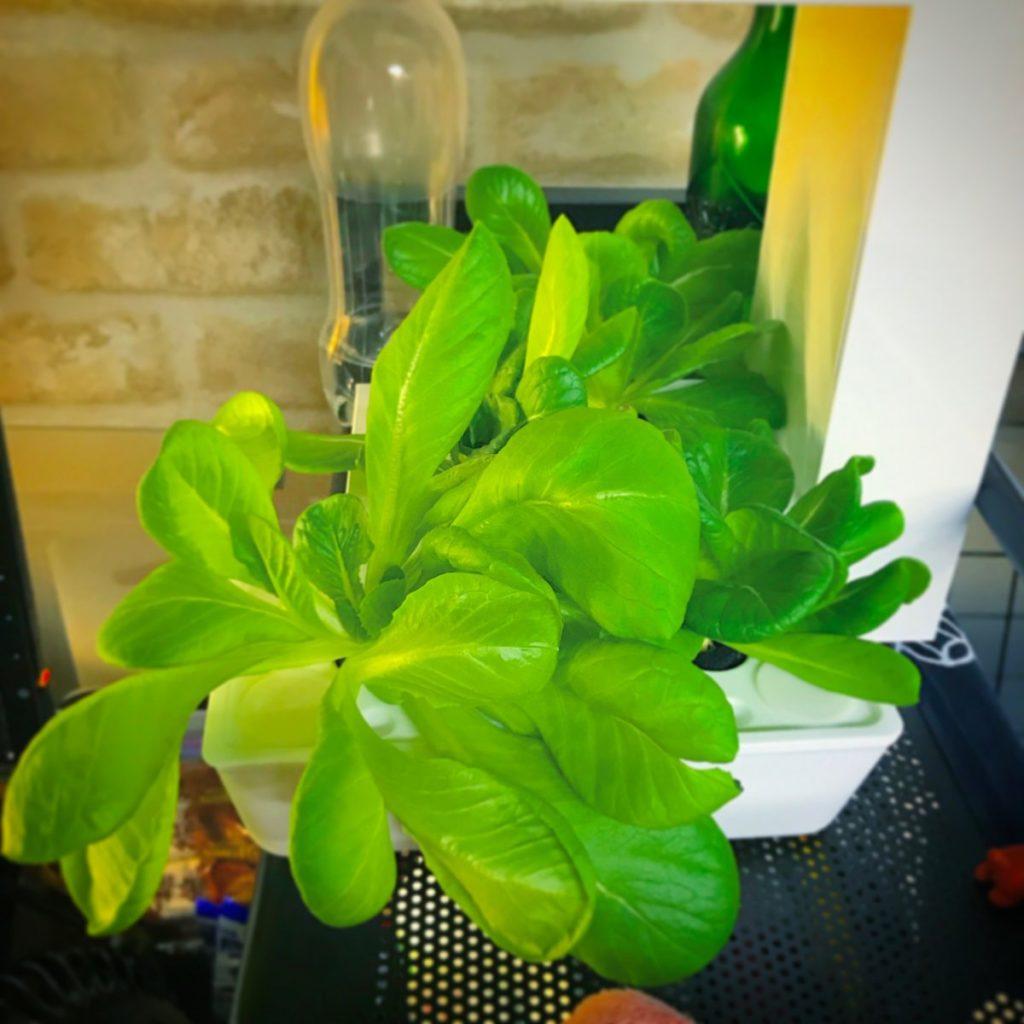 灯菜(AKARINA/アカリーナ)でサラダ菜の水耕栽培(day37)