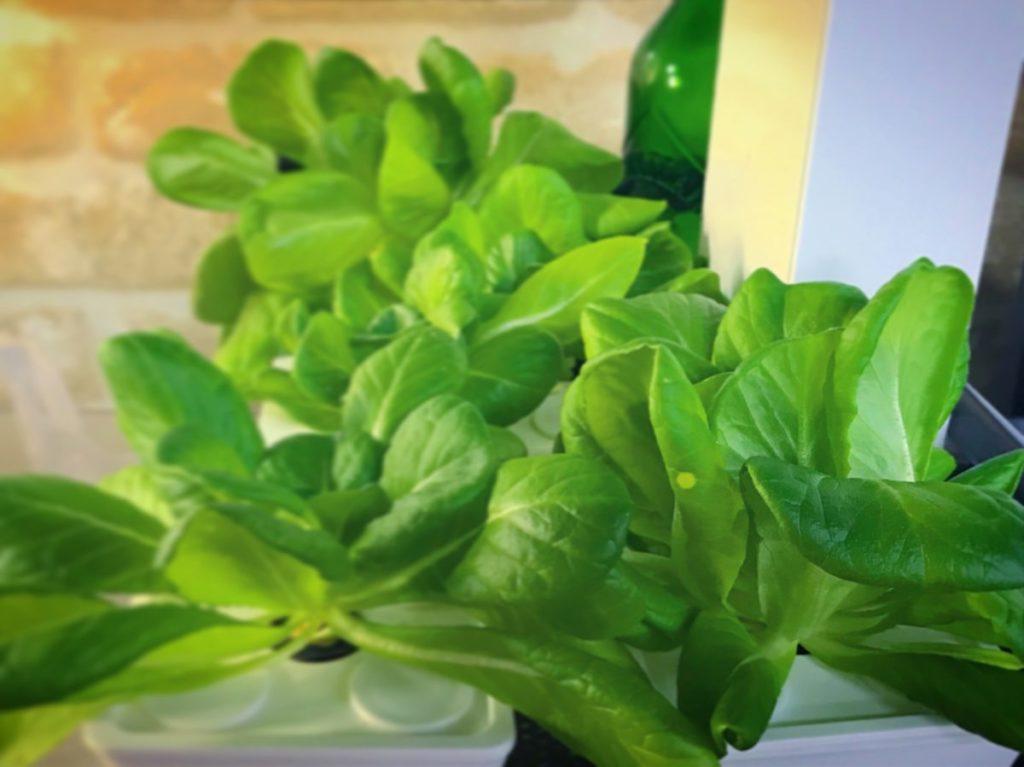 灯菜(AKARINA/アカリーナ)でサラダ菜の水耕栽培(day45)