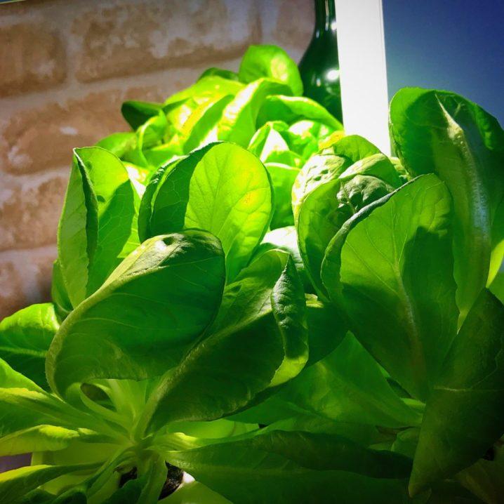 灯菜(AKARINA/アカリーナ)でサラダ菜の水耕栽培(day66)