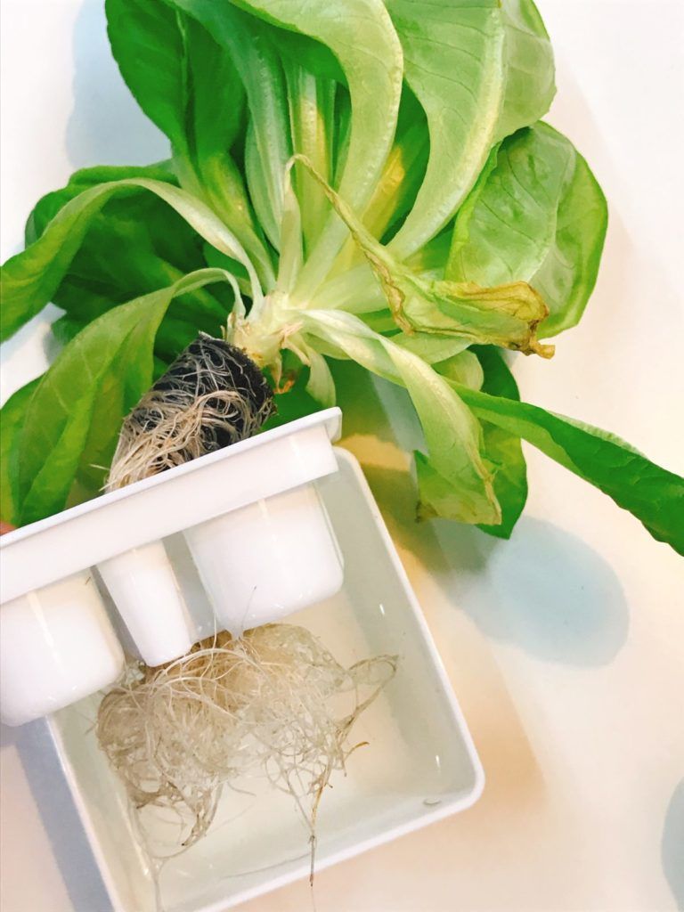 灯菜(AKARINA/アカリーナ)でサラダ菜の水耕栽培(day67)