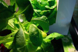 灯菜(AKARINA/アカリーナ)でサラダ菜の水耕栽培(day99)