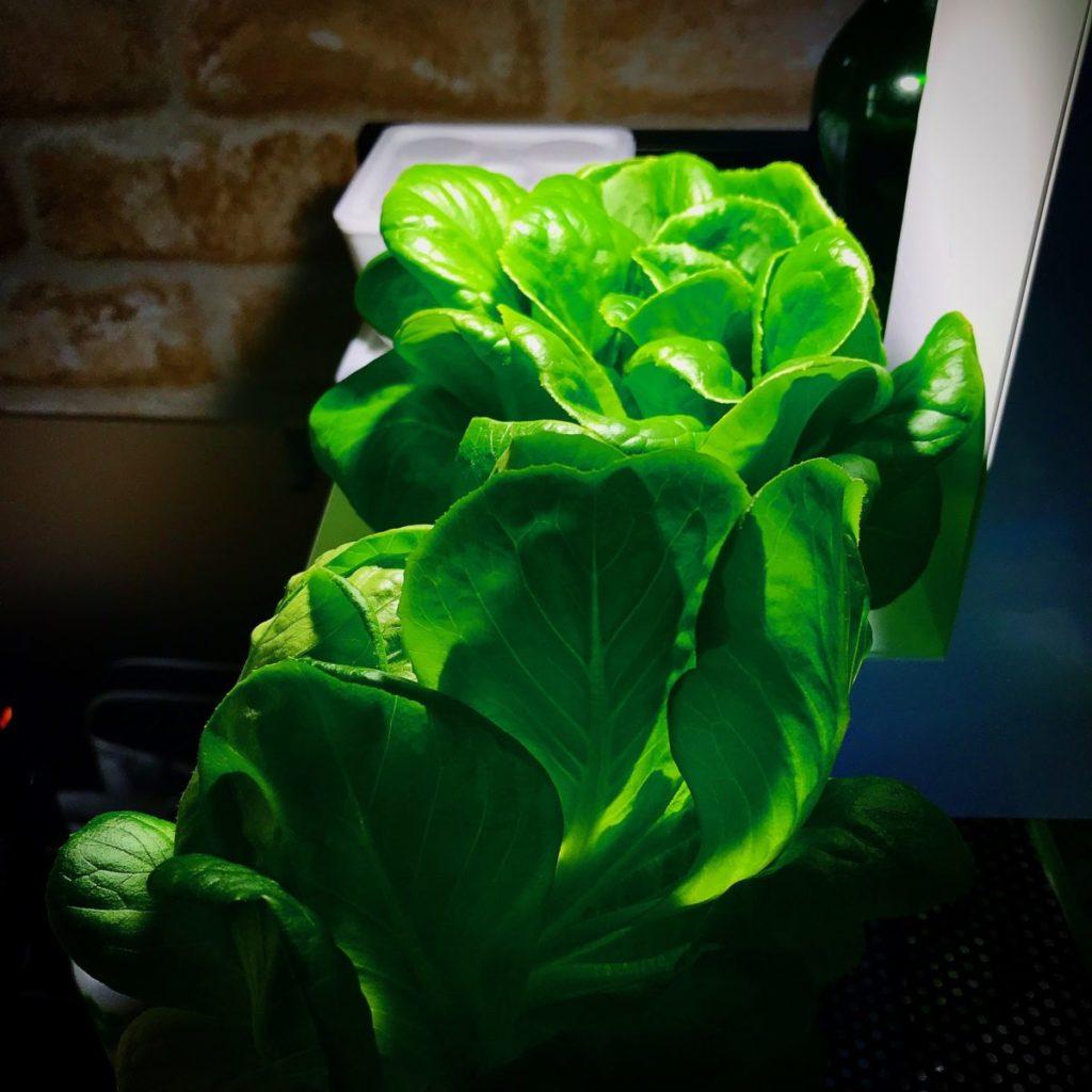 灯菜(AKARINA/アカリーナ)でサラダ菜の水耕栽培(day85)