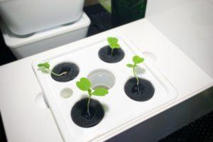 水耕栽培キット灯菜でルッコラを育ててみた(day9)
